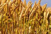Ear of wheat field — Stock Photo
