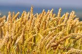 Orecchio del campo di grano — Foto Stock