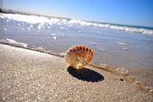 Zeeschelp op een strand op een zonnige dag — Stockfoto