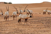 Arabian Oryx — Stock Photo