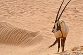 Arabian oryx in a desert — Stock Photo