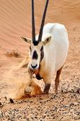 Arabian Oryx — Stock Photo