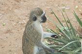 Cute little monkey eating — Zdjęcie stockowe