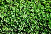 Yeşil yonca — Stok fotoğraf