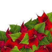 Christmas frame from poinsettia flowers biur on white — Stock Photo