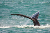 Southern right whale — Stock Photo