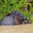 Stock Photo: Borneo Pygmy Elephant