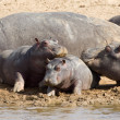 Hippopotamus — Stock Photo #23185982