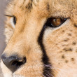 Cheetah — Stock Photo #23186074