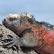 Galapagos iguana — Stock Photo