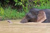 Borneo Pygmy Elephant — Stock Photo