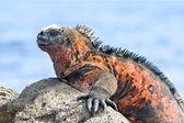 Galapagos iguana — Stock Photo
