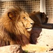 Lion in a zoo — Photo