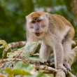Long tail macaque — 图库照片