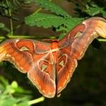 Atlas moth — Stock Photo