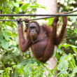 Stock Photo: Borneorangutan