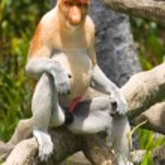 Постер, плакат: Proboscis monkey