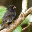 Stock Photo: Small Ground-Finch