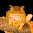 Stock Photo: Harlequin Tree Frog