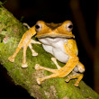 File Eared Tree Frog — Stock Photo
