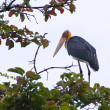 Stock Photo: Lesser Adjutant bird