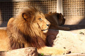 Lion in a zoo — Stock Photo