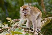长尾猕猴 — 图库照片
