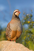 Partridge — Stock Photo