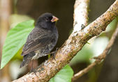 Small Ground-Finch — Stock Photo