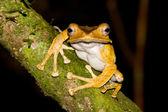 File Eared Tree Frog — Stock Photo