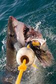 White shark — Stock Photo