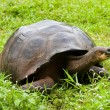 Galapagos giant tortoise - Stock Photo