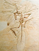 Archaeopteryx lithographica — Stock Photo