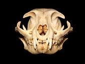 Cat skull — Stock Photo