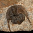 Stock Photo: Trilobites
