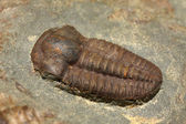 Trilobites — Stock Photo