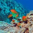 Stock Photo: Coral reef in Red Sea