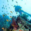 Diving in Red Sea — Foto de Stock