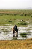 Wildebeest, Kenya — Stock Photo