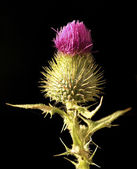 Flower of a thistle — Stock Photo