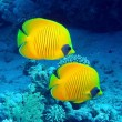 Stock Photo: Masked butterfly fish