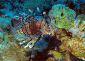 Indian lionfish — Stock Photo