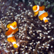 Clownfish — Stock Photo #23814333