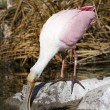 Stock Photo: Roseate Spoonbill bird