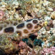 Snake eel — Stock Photo