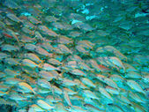 Fish shoal — Stock Photo