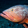 Grouper - Stock Photo