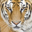 Tiger — Stock Photo #30259149