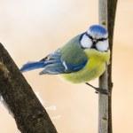 Blue Tit — Stock Photo #33232871