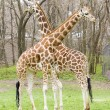 Giraffes — Stock Photo #34502925